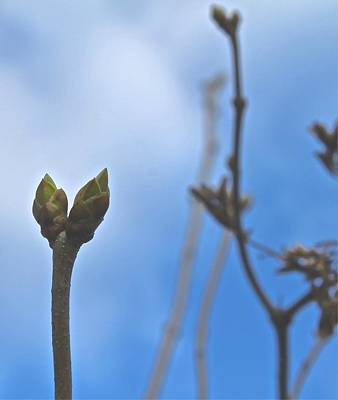 Photograph - Buds by Mario Perron