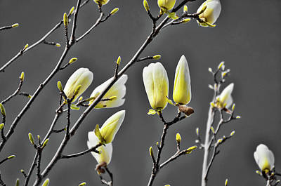 Photograph - Buds Of Spring by Glady