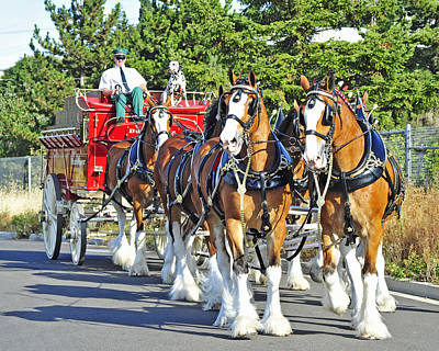 Photograph - Budweiser Clydesdales by Jack Moskovita