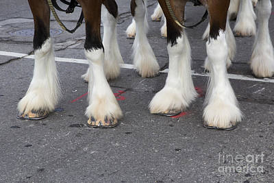 Photograph - Budweiser Clydesdales by Jim West