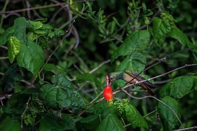Photograph - Buff-bellied Hummingbird Feeding At Turks Cap by Debra Martz