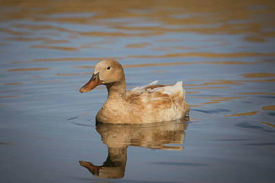 Photograph - Buff Orpington Domestic Duck-img_164518 by Rosemary Woods-Desert Rose Images