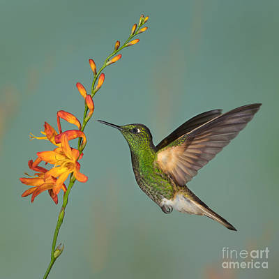 Lovely Lavender - Buff-tailed Coronet feeing from Crocosmia by Jerry Fornarotto