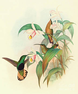 Hummingbird Drawing - Buff Tailed Velvet Breast by John Gould
