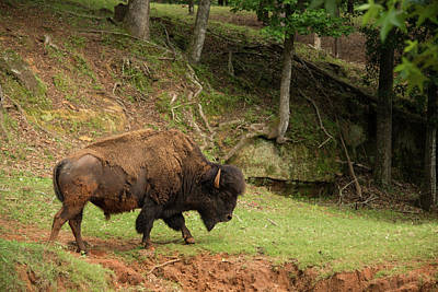 Buffalo Walking Along Streambed Art Print