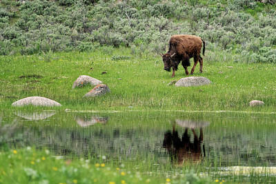 Photograph - Buffalo And Reflection Yellowstone Np Grk7719_05272018  by Greg Kluempers