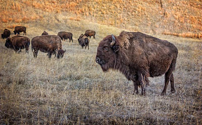 Photograph - Buffalo At Custer State Park by Ray Van Gundy