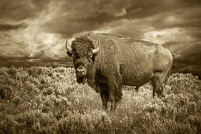 Randall Nyhof Royalty Free Images - Buffalo Bison at Yellowstone in Sepia Royalty-Free Image by Randall Nyhof