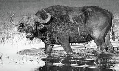 Photograph - Buffalo Black And White by Tim Hester