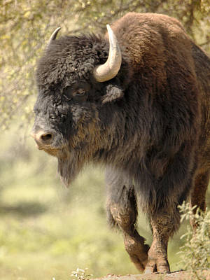 Photograph - Buffalo Bull by Charles McKelroy