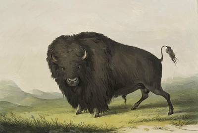 Buffalo Bull Grazing 1845 Art Print