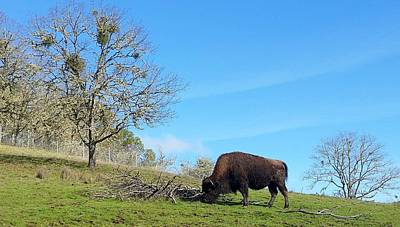 Photograph - Buffalo Bull by Suzy Piatt