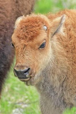 Photograph - Buffalo Calf Portrait by Jennie Marie Schell