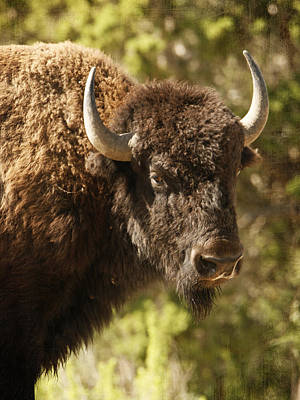 Photograph - Buffalo Cow by Charles McKelroy