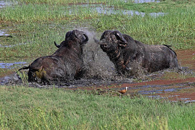 Photograph - Buffalo Fighting by Tony Murtagh