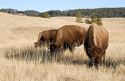 Photograph - Buffalo Gals by Larry Ricker
