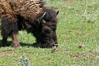 Photograph - Buffalo Grazing by Douglas Barnett