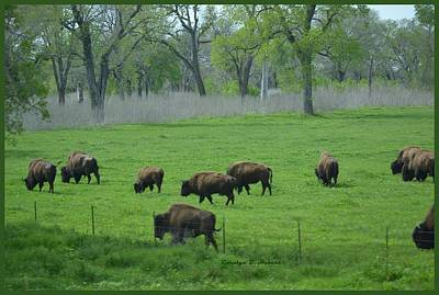 Wall Art - Photograph - Buffalo Grazing On The Green Pasture by Carolyn Hebert