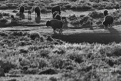 Photograph - Buffalo Grazing In The Sunset by Adam Jewell