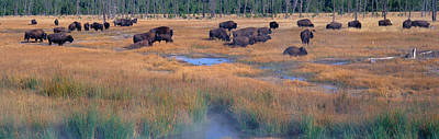 Bos Bos Photograph - Buffalo Grazing, Yellowstone National by Panoramic Images
