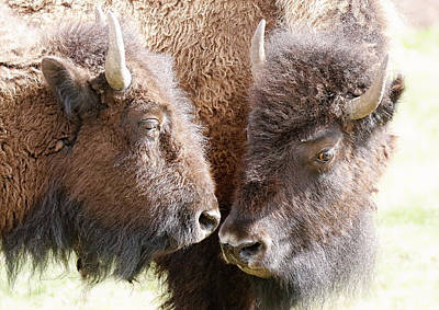 Buffalo Heads Art Print by Athena Mckinzie