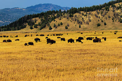Photograph - Buffalo Herd At Sunset Yellowstone by Ben Graham