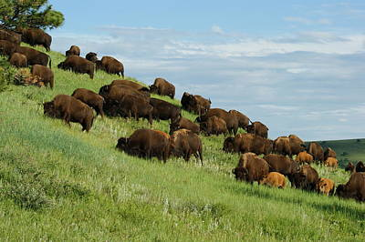 Photograph - Buffalo Herd by Ernie Echols