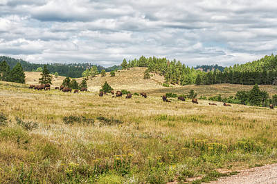 Photograph - Buffalo Herd by John M Bailey