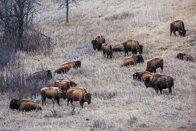 Buffalo Herd Art Print