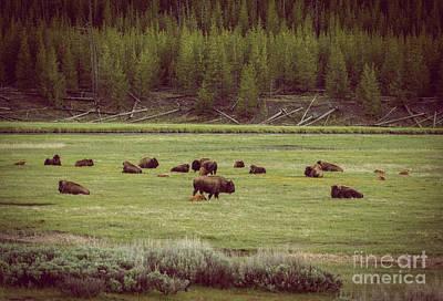 Photograph - Buffalo Herd by Robert Bales