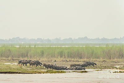 Photograph - Buffalo Herd by Werner Padarin