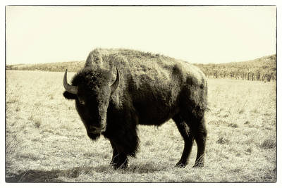 Photograph - Buffalo In Sepia by Tony Grider