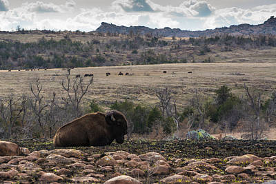 Photograph - Buffalo In The Wichita Mountains by Nathan Hillis
