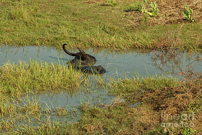 Photograph - Buffalo In Water by Patricia Hofmeester