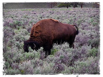 Photograph - Buffalo In Yellowstone by Joan  Minchak