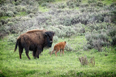 Photograph - Buffalo Mother And Calf Yellowstone Grk6623_05212018-2  by Greg Kluempers