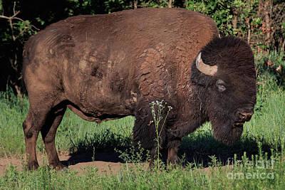 Photograph - Buffalo On The Plains by Richard Smith