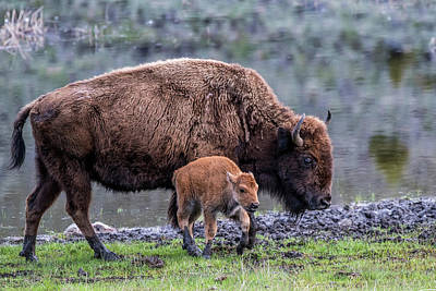 Photograph - Buffalo Out For Stroll by Paul Freidlund