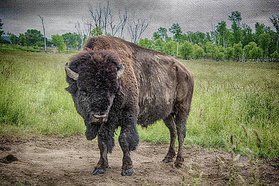Photograph - Buffalo by Pamela Williams