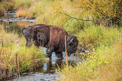Photograph - Buffalo Stream Crossing by Steven Bateson