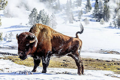 Photograph - Buffalo Stretch by Robert Caddy