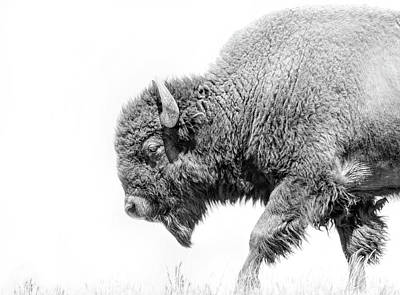 Photograph - Buffalo Walk Black And White by Jennie Marie Schell