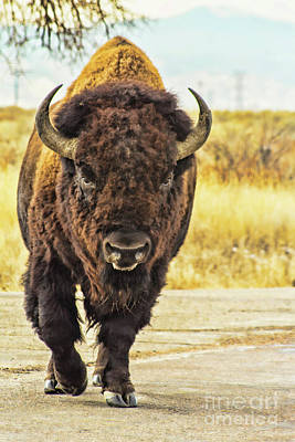 Photograph - Buffalo Walk by Steven Parker