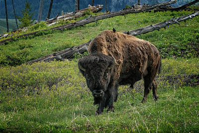 Photograph - Buffalo With Cow Birds At Yellowstone_grk6876_05222018 by Greg Kluempers