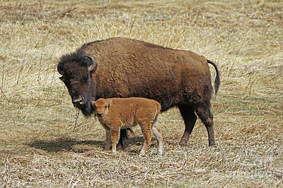 Photograph - Buffalo With Newborn Calf by Bill Gabbert