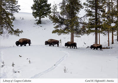 Photograph - Buffaloes In Yellowstone National Park by Carol M Highsmith