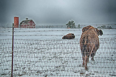 Photograph - Buffalos In The Snow by Barry C Donovan