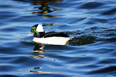 Photograph - Bufflehead 2 by Gary Hall