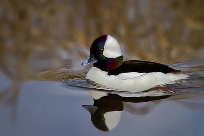 Photograph - Bufflehead Drake by Craig Strand