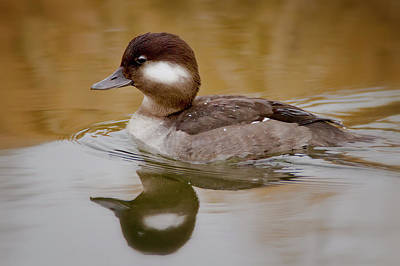 Photograph - Bufflehead Hen by Craig Strand
